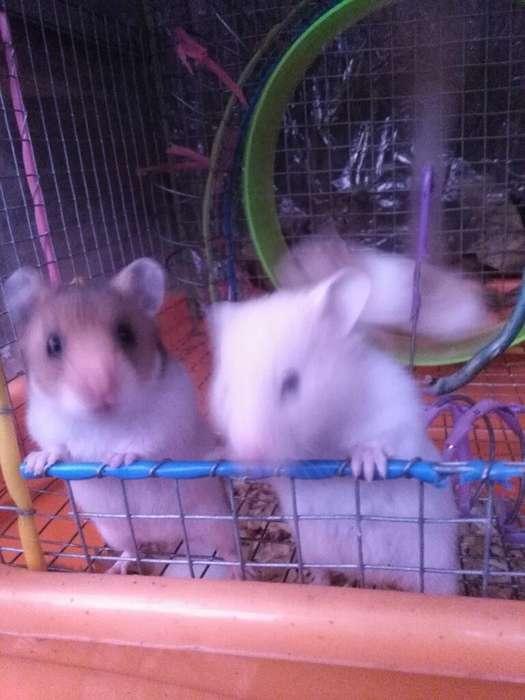 <strong>hamster</strong> para Mascota