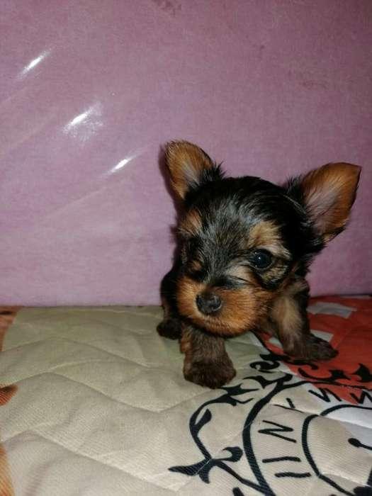 Venta Cachorros Yorky Terrier Mini