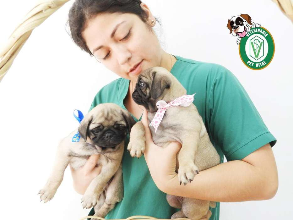 CACHORROS PUG CARLINO BELLOS EN PET VITAL !!!