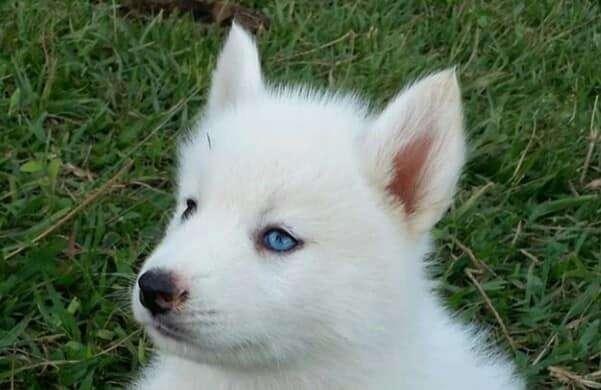 lobos blanco super bellos