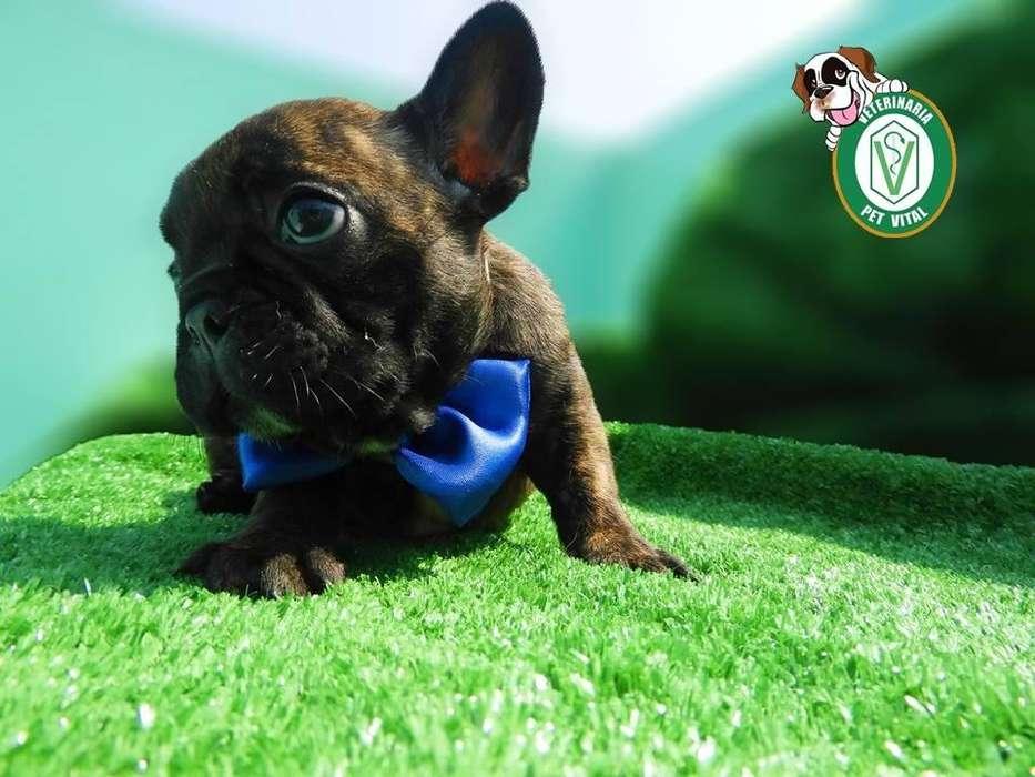 <strong>cachorro</strong>S HERMOSOS BULLDOG FRANCES EN PET VITAL !!!