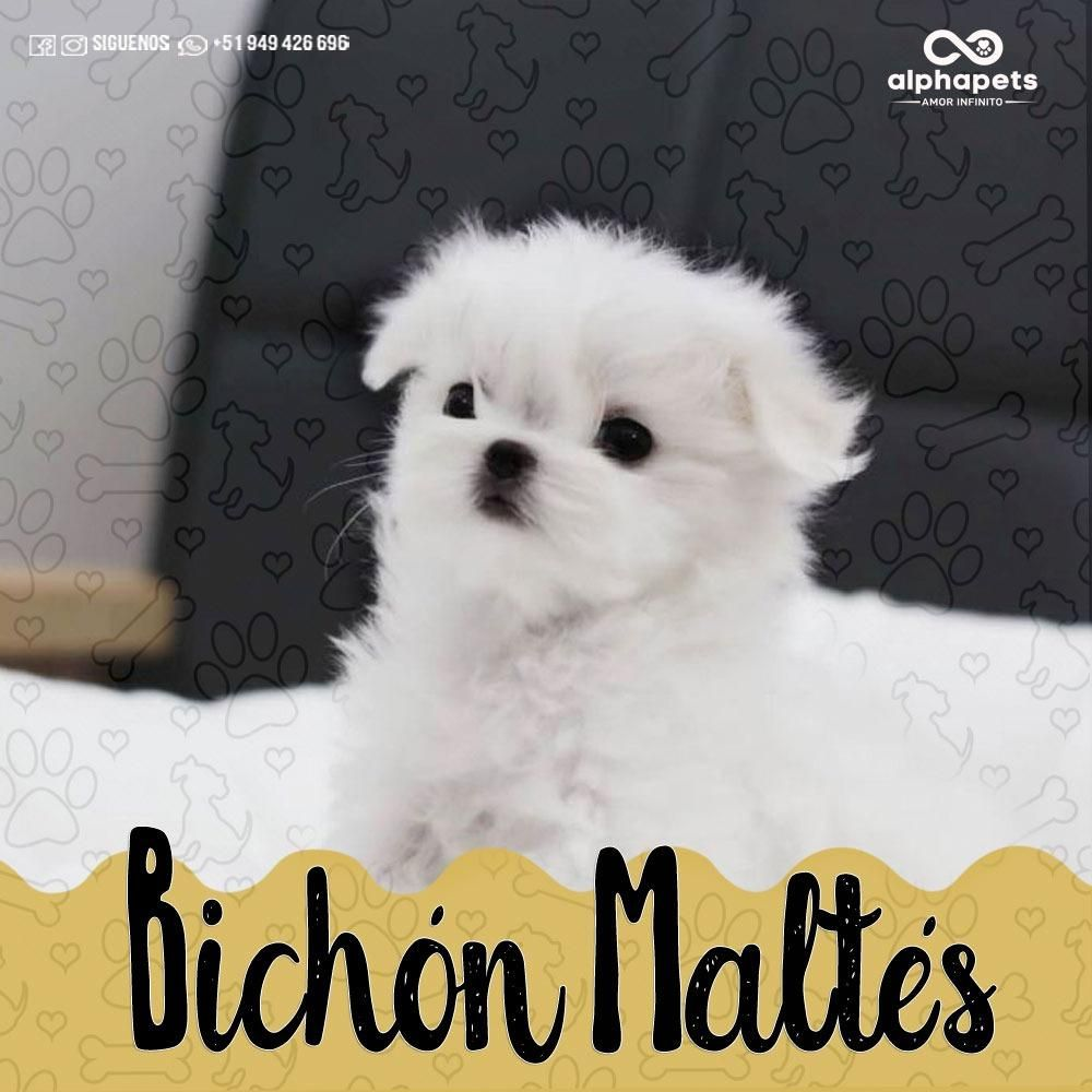 CACHORROS BICHÓN MALTES A1 DE ALTO NIVEL GENETICO ALPHA PETS PERÚ
