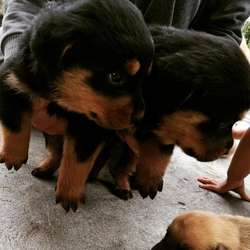 Cachorros Rothweiler