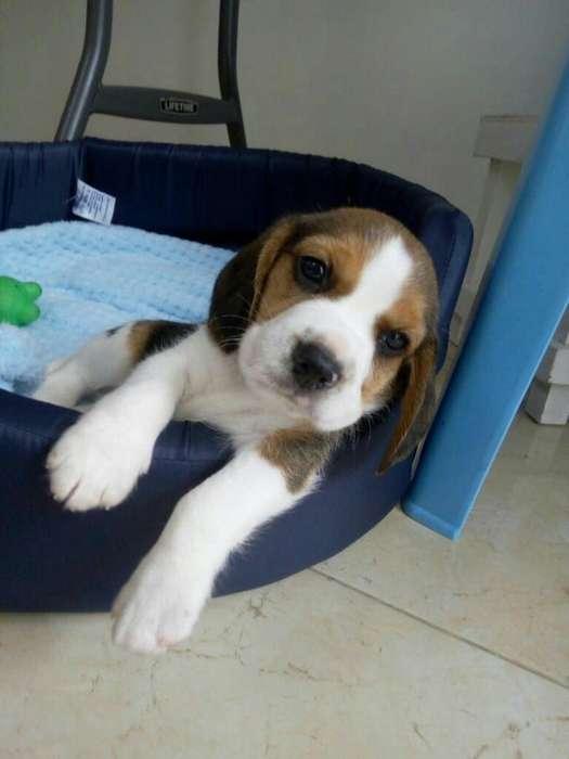 <strong>beagle</strong>