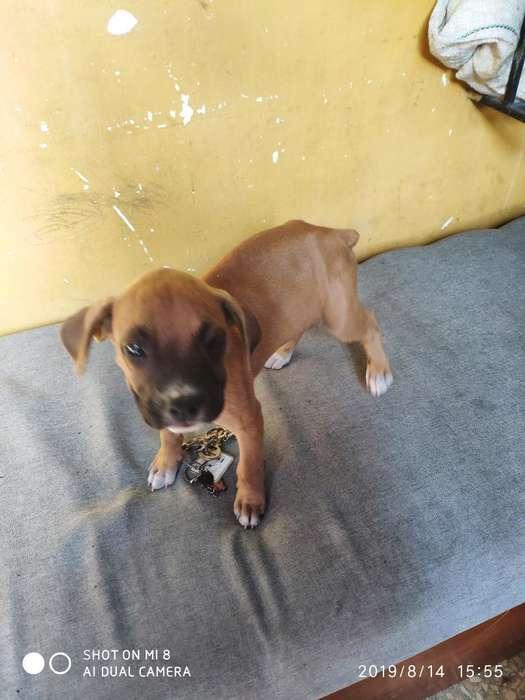 Lindo Cachorro Raza <strong>boxer</strong> Bien Cuidados