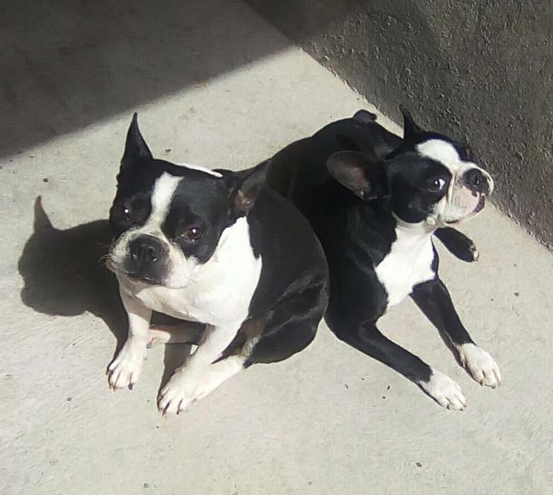 Pareja de Boston <strong>terrier</strong> Frances