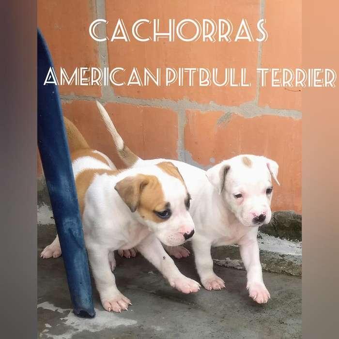 Vendo Dos Cachorras Pitbull Terrier