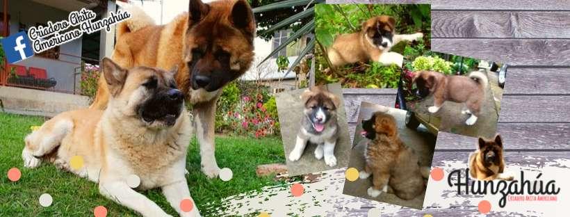 AKITA AMERICANO <strong>cachorro</strong>s disponibles