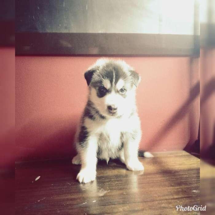 Venta de Husky <strong>perros</strong> Lobos Hermosos