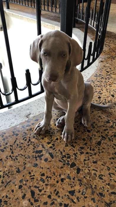 Cachorro Weimaraner