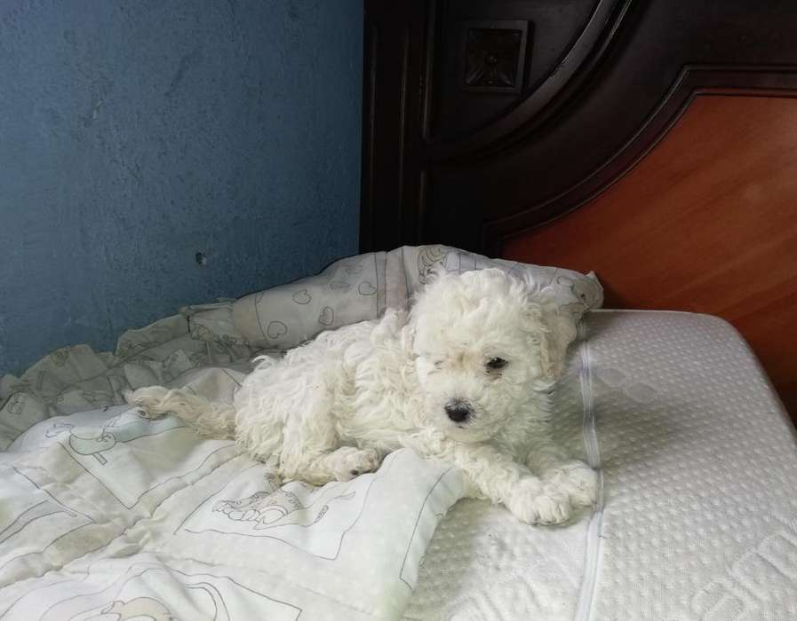 Venta de Cachorros French Poodle