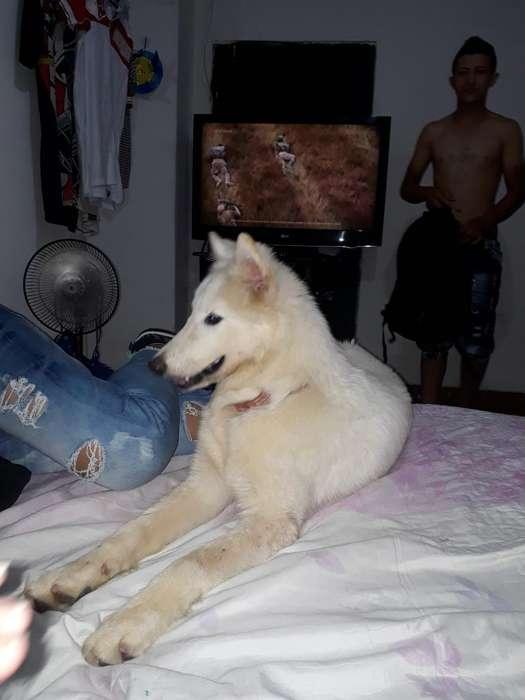 Vendo Husky Siberiana