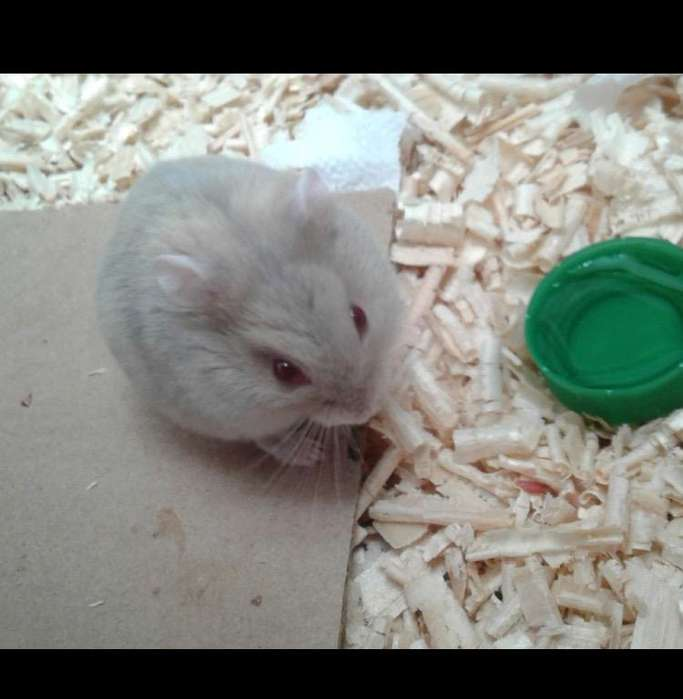 Hamster Ruso Blue Fawn Argente