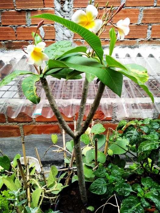 Plumeria Planta o frangipani