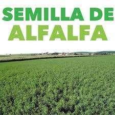 alfalfa semilla libra (medicago sativa) cultivo