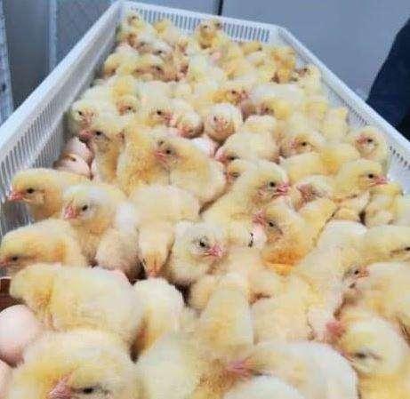 <strong>pollos</strong> bebes de 3 dias de nacido