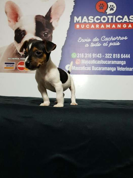 Fantásticos Jack Russell <strong>terrier</strong>s