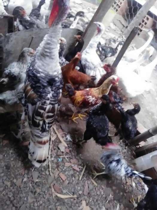 Pollos Patos Gansos en Ventay Criollos