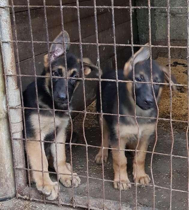 Vendo Cachorras Pastor Aleman