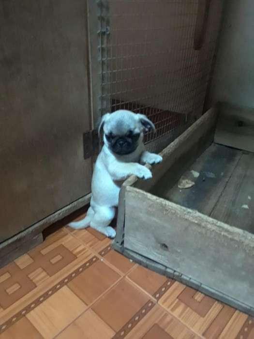 Vendo Cachorros Pug