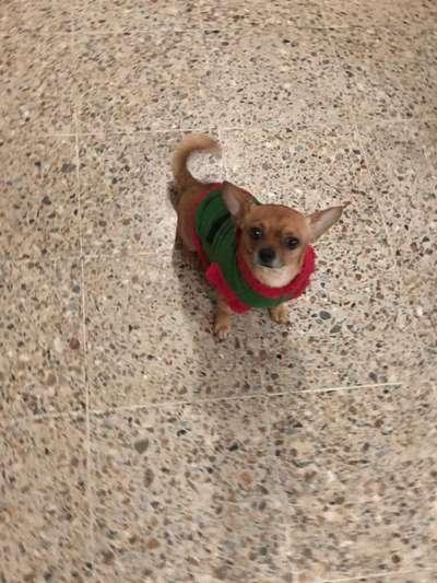 Busco Novia Para Mi Chihuahua Max Perros Gatos 1103880921