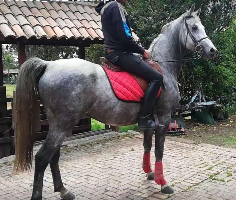 Vendo Hermoso <strong>caballo</strong> Árabe Shagya Puro