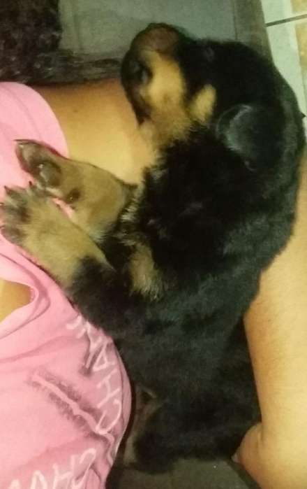 Rottweiler <strong>cachorro</strong>