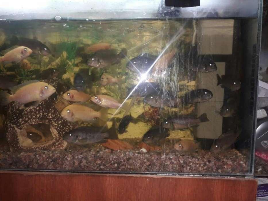 <strong>peces</strong> Ciclidos Africanos