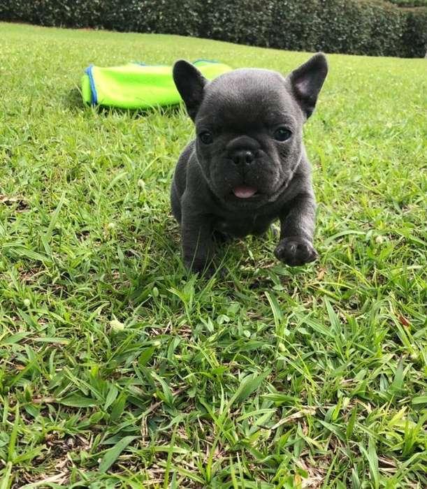 Cachorro <strong>bulldog</strong> Frances Blue Macho