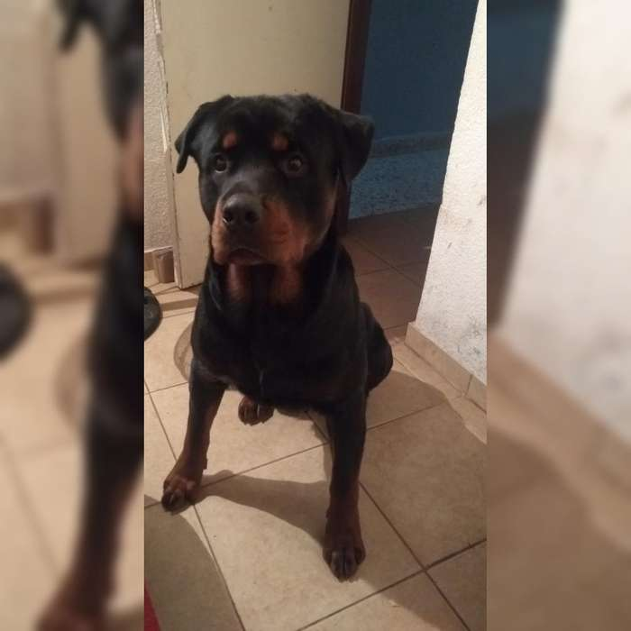 Monta <strong>rottweiler</strong>