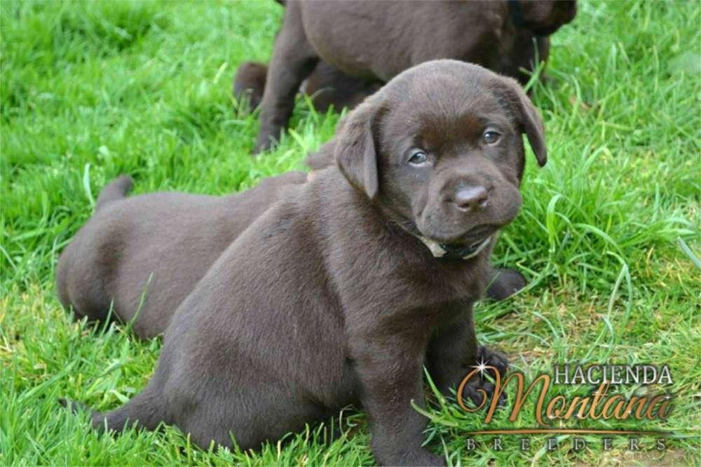 <strong>cachorro</strong>S LABRADOR CHOCOLATE EN ARMENIA