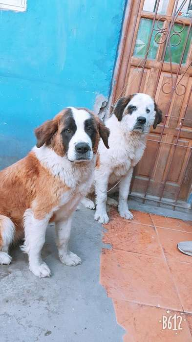 San Bernardos Cachorros