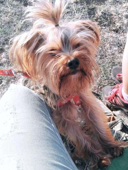 Yorkshire Terrier Busca Novia