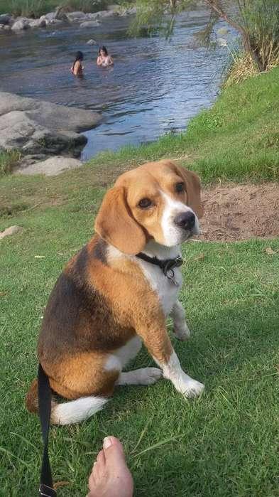 MINI <strong>beagle</strong> PARA SERVICIO