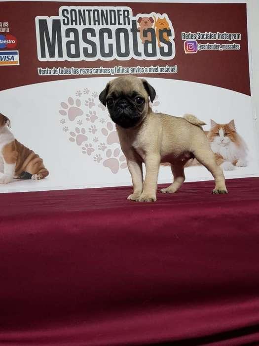 Pug Carlinos Puppies Robustos
