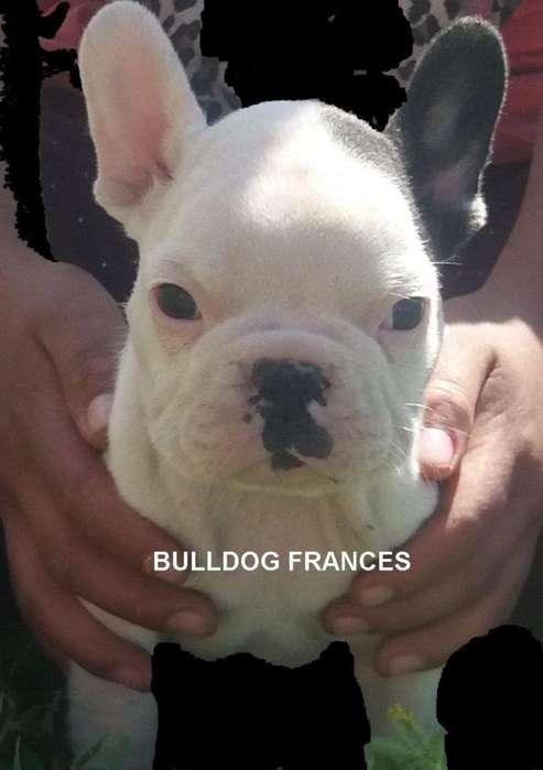 Bulldog Frances de Padres importados