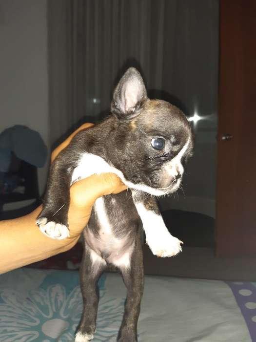 Venta de <strong>perro</strong>s Bulldog Frances