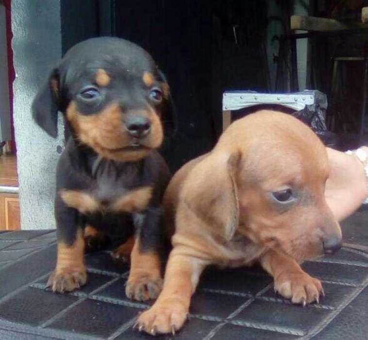 Hermosos Teckel Dachshund <strong>perros</strong> Salchicha