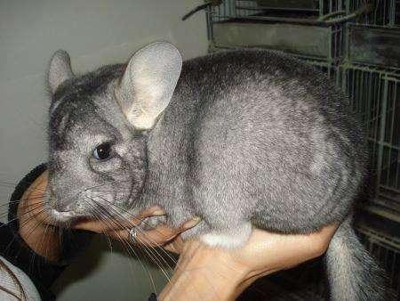 chinchilla bbspara mascotas ---agenda cel 2234231300 mar del plata....