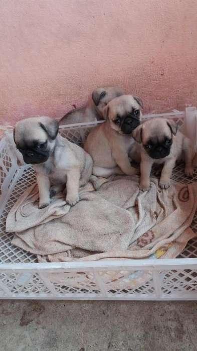 Pug - Carlino <strong>cachorro</strong>s