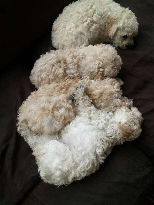 Poodles Cachorritos Dos Meses