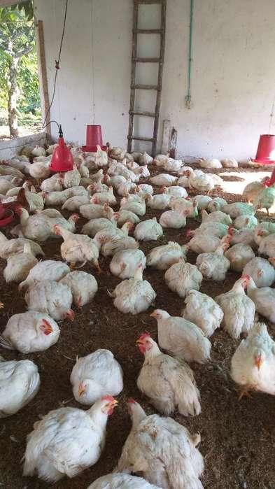 Se Venden <strong>pollos</strong> Semi Criollos