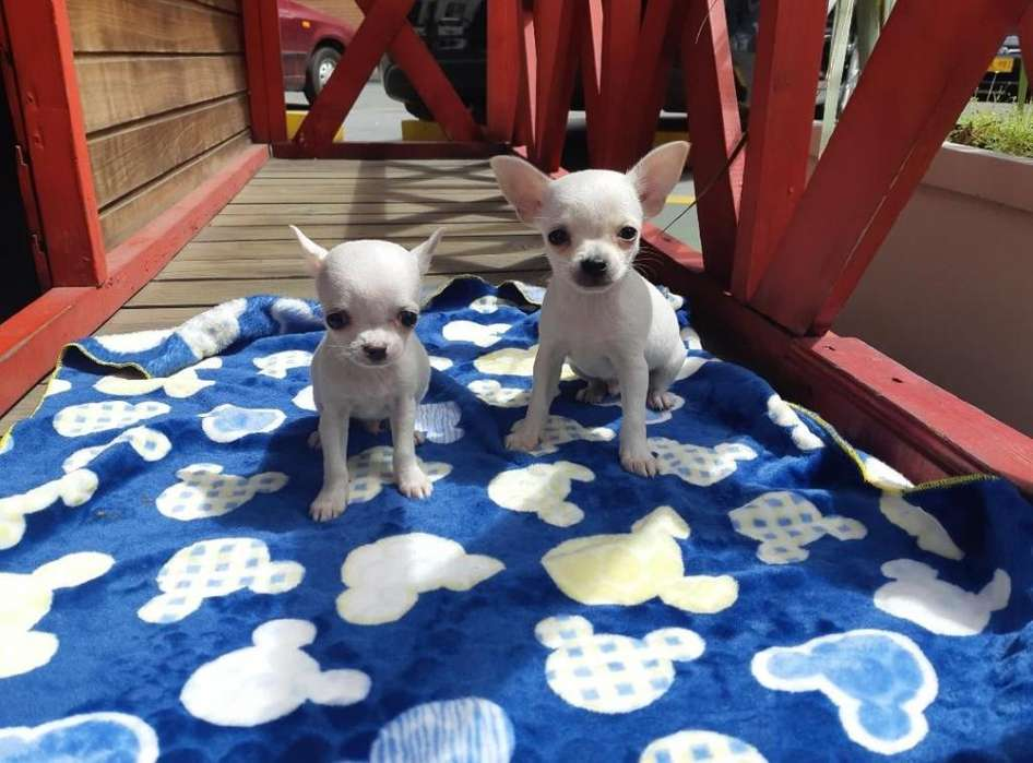 HERMOSOS <strong>chihuahua</strong>S PUROS EN COLOMBIA!!!