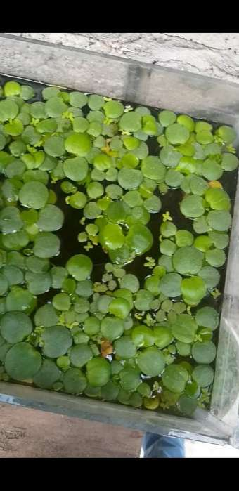 Ventas de Plantas Flotantes
