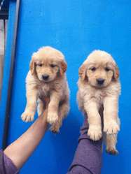 Golden Retriever Padres de Pedigree