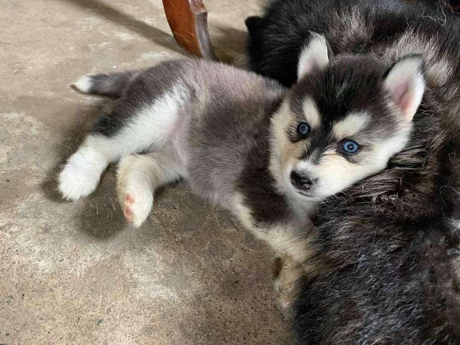 Hermosos Husky Siberianos