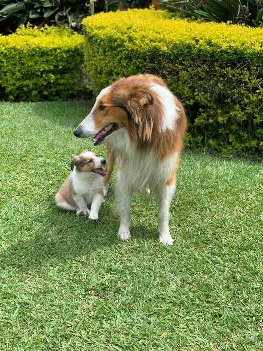Vendo hermosos cachorros Pastor <strong>collie</strong>