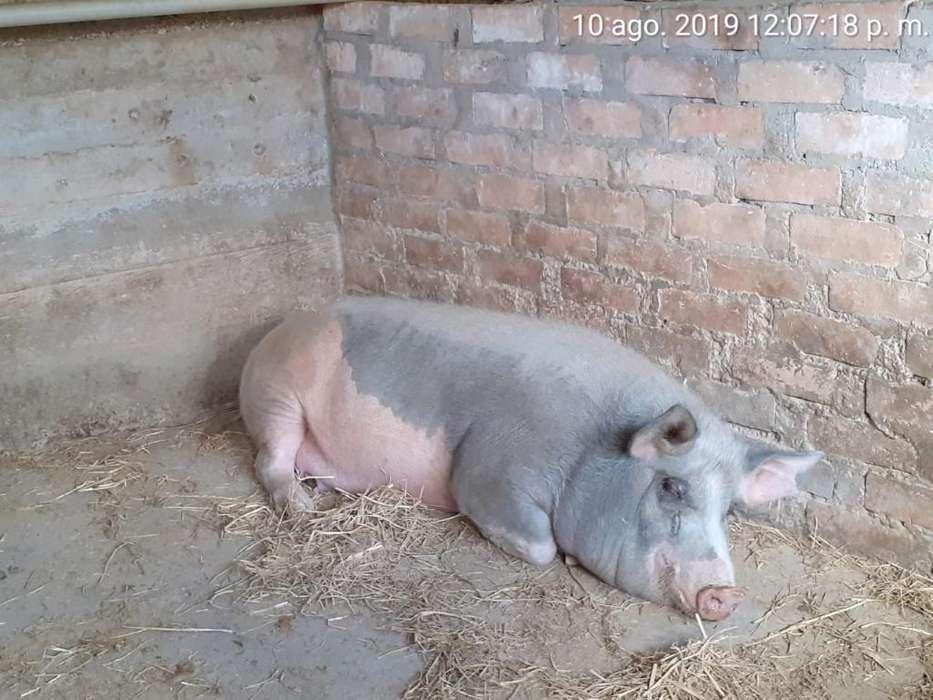 Cerdos para Cría. Información 943837433