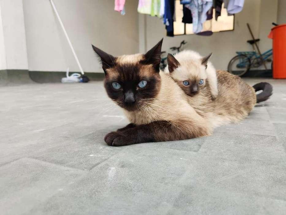 Se Venden Gatos Siamés