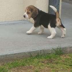 Beagles Tricolor hembra